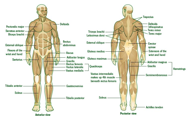 Muscular System's